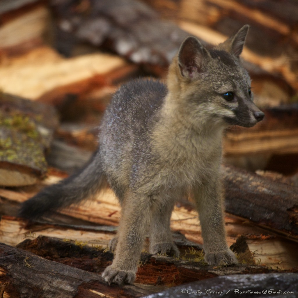 Baby gray foxes - photo#23