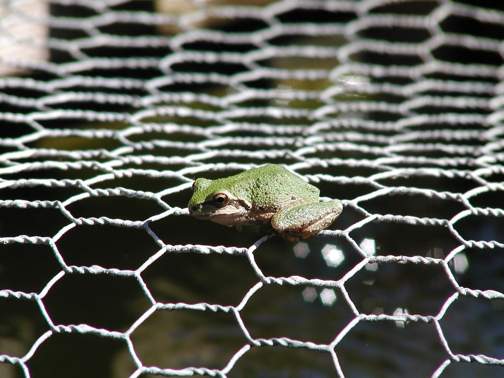 Frog The Wire | Pacific Tree Frog Mendonoma Sightings