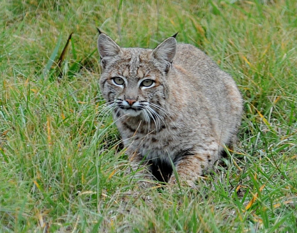 bobcat - photo #49