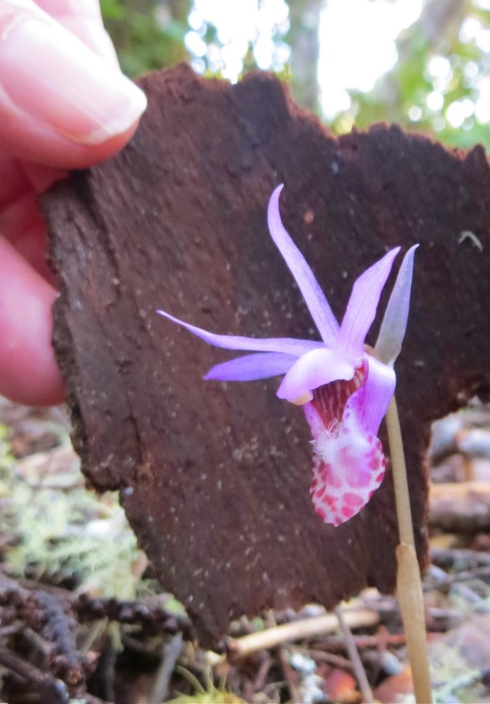 never transplant calypso orchids mendonoma sightings. Black Bedroom Furniture Sets. Home Design Ideas
