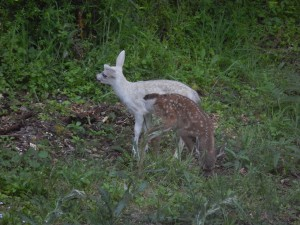 2014 White Fawn and its normal-colored sibling by Gerda Randolph