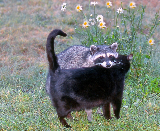 Black Raccoon A housecat and a raccoon became friends, as photographed ...
