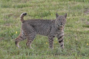 A confident Bobcat by Thom Matson