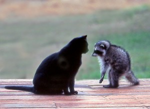 Baby Raccoon meets the friendly housecat by Siegfried Matull