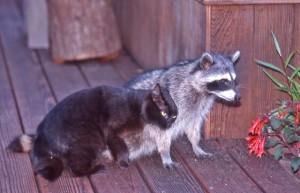 Best friends, a housecat and a Raccoon by Siegfried Matull