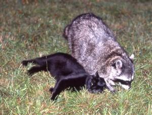 Black housecat and a friendly Raccoon by Siegfried Matull