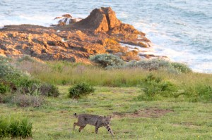 Bobcat on a Sea Ranch meadow by Thom Matson