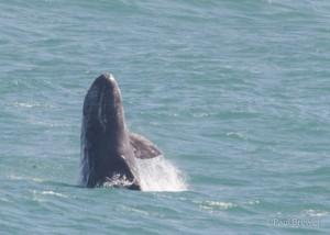 Breaching Gray Whale calf 5.22.14 by Paul Brewer