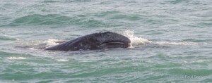 Gray Whale Calf by Paul Brewer