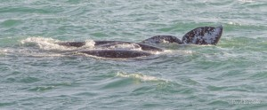 Gray Whale Migration-Mother with calf by Paul Brewer