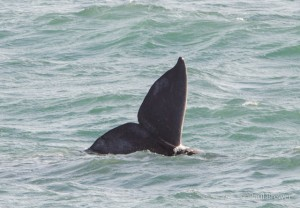 Gray Whale Tail by Paul Brewer