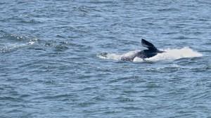 Gray Whale calf breaching by Richard Kuehn