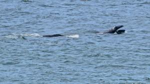Gray Whale calf lunge feeding by Richard Kuehn