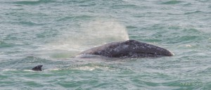 Gray Whale spout by Paul Brewer