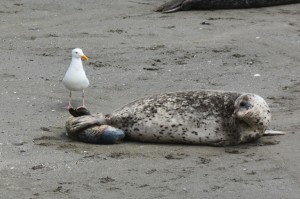 Harbor Seal being born 2 by Carol Hunter