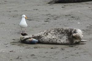Harbor Seal being born 2 by Carol Hunter