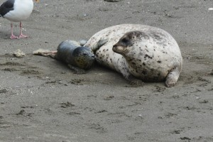 Harbor Seal being born 3 by Carol Hunter