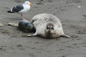 Harbor Seal is born 4 by Carol Hunter