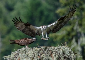 Male Osprey bring fish to the nest by Paul Brewer