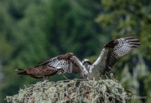 Osprey Nest Mom tears food and feeds unseen chick by Paul Brewer