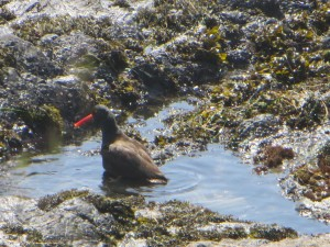 Oystercatcher wading by Cece Case (Large)
