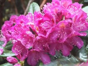 Rhodi in the rain 5-8-14 by Rob Diefenbach