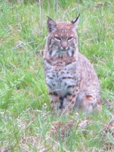 Thursday Bobcat by Jinx McCombs