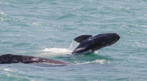 Whale Migration-Gray Whale calf breaches by Paul Brewer