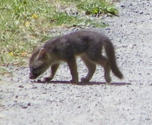 A Fox Kit by Cathleen Crosby