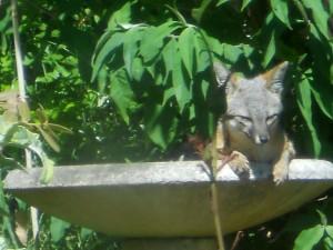 A relaxed Gray Fox mom in birdbath by Lynda Opperman