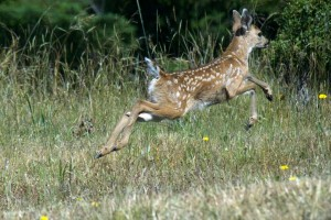 A young Fawn leaps by Allen Vinson
