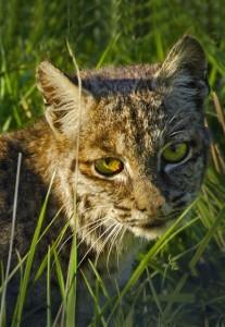 Bobcat Face by Siegfried Matull