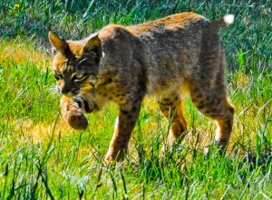Bobcat with a vole by Siegfried Matull