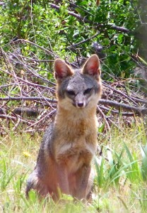 Gray Fox mother by Cathleen Crosby