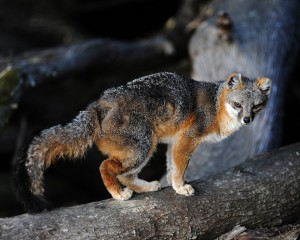 Gray Fox with tattered ears by Ken Bailey