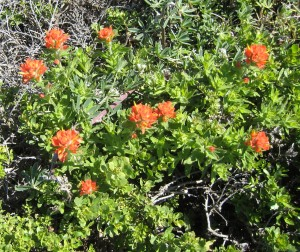 Indian Paintbrush at Windermere Point by John Sperry