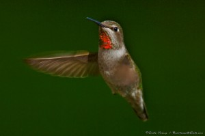 Male Anna's Hummingbird MARCH by Craig Tooley