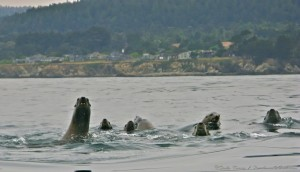 Sea Lions seen from a kayak JUNE by Craig Tooley