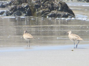 Whimbrels by Carolyn Case