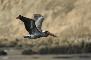 A Brown Pelican soars by Pepe Alvarez