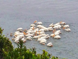 American White Pelicans by Janet Tervo
