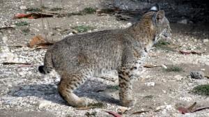 Bobcat Kitten has big feet by Mark Simkins
