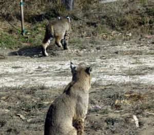 Bobcat Kittens roam by Mark Simkins