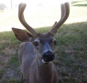 Deer Selfie by Nancy Padgett