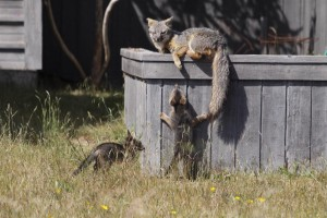 Gray Fox mother with her kits by Pat Killen (Large)