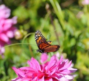 Monarch Butterfly feeding on a dahlia by Tom Eckles