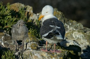 """Western Gull parent tell its chick """"Oh, why, yes! They're SUPPOSED to be pink,"""" cap. by Steve Serdahely, pho.by Craig Tooley"""