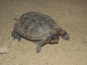 Western Pond Turtle crossing the road by Peter Baye