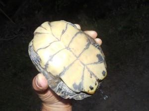 Western Pond turtle peeing by Peter Baye