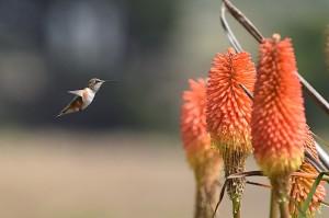 Anna's Hummingbird by Allen Vinson
